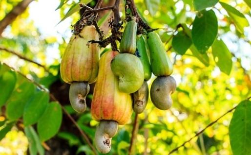 kashew fruit